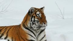 Amur (Siberian) tiger Stock Footage