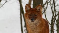 Dhole, Asiatic wild dog, winter Stock Footage