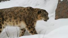 Snow leopard, winter Stock Footage
