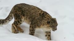 Snow leopard, winter - stock footage