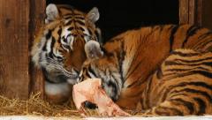 Amur (or Siberian) tiger - stock footage