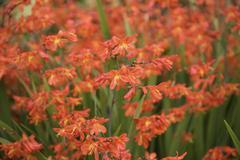 monbretia in flower - stock photo