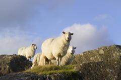 Sheep on mountain snowdonia, wales Stock Photos