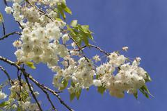 White Spring blossom - stock photo