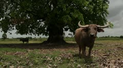 ASIAN ANIMALS: Asian waterbuffalo and large tree Stock Footage
