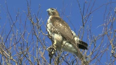 Red Tailed Hawk Eyes Stock Footage
