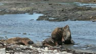 South American Sea Lions, Falkland Islands Stock Footage