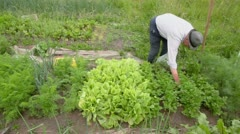 Old man collects herb from seedbeds near construction site Stock Footage