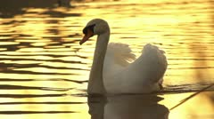 SLOW MOTION: Swan at sunset Stock Footage
