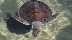 HD Stock Footage 1080p - Green Sea Turtle in the Caribbean Cayman Islands Stock Footage