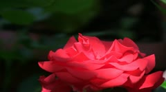 Hybrid cultivar rose (Rosa sp.) flower gently swaying in the wind Stock Footage