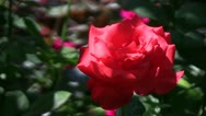 Stock Video Footage of Hybrid cultivar rose (Rosa sp.) flower gently swaying in the wind