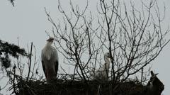Storks on a tree. Stock Footage