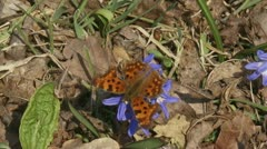 Glory-of-the-snow (chionodoxa) with Comma butterfly - stock footage