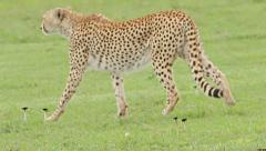 Cheetah walking and lie down on the grass Stock Footage