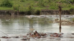 Hippos puddle Stock Footage
