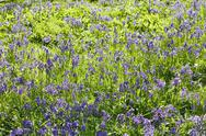 Stock Photo of bluebells