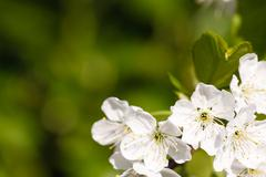 Apple blossom background Stock Photos