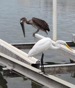 great egret and pelican - stock photo