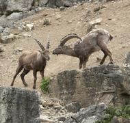 Two alpine ibex at fight in stony ambiance Stock Photos