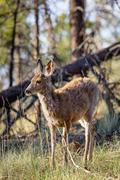 Mule Deer Kuvituskuvat