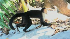Cappuccino Monkey walking at the beach in slow motion Stock Footage