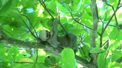 Sloth waking up from sleeping in a tree Stock Footage