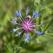Flower of centaurea montana Stock Photos