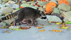 3 raccoons walking in slow motion at the beach Stock Footage