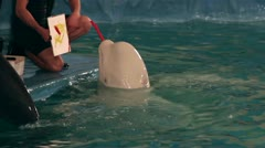 Beluga whale draws a picture paints. Stock Footage