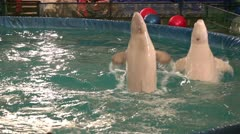 two beluga whales jumping out of the water. - stock footage