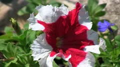 Cultivar petunia (Petunia x hybrid) flower gently swaying in the wind Stock Footage