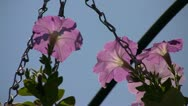 Stock Video Footage of Cultivar petunia (Petunia x hybrid) flowers gently trembling in the wind