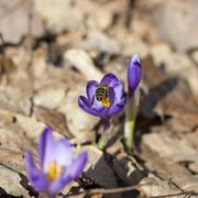 Bee pollinate saffron Stock Photos