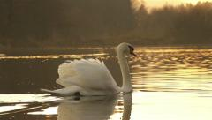 SLOW MOTION: Swan swimming Stock Footage