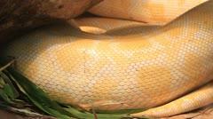 Close up of golden thai python Stock Footage