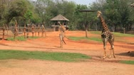 Giraffe in zoo Stock Footage
