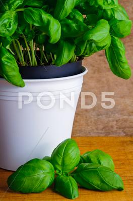Stock photo of fresh basil