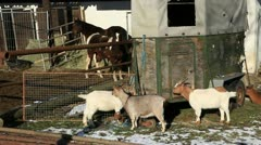 Goats1 Stock Footage