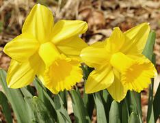 daffodil flowers - stock photo
