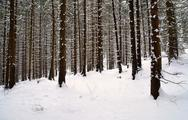 Stock Photo of snowy spruce forest