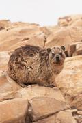 dassie - stock photo