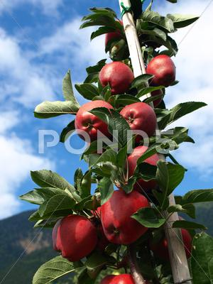 Stock photo of mele rosse verticali