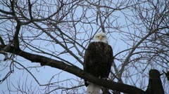 Bald Eagle flapping wings Stock Footage