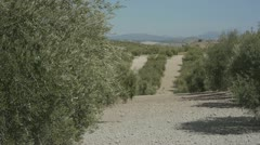 Olives in andalucia 1 Stock Footage