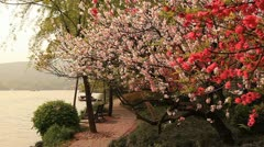 China Spring Blossoming Cherry Lake Stock Footage