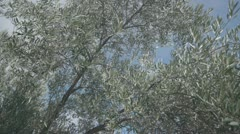 Olives in andalucia 4 Stock Footage