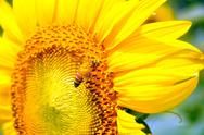 Stock Photo of bee and sunflower