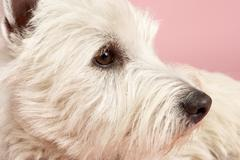 West Highland Terrier Dog In Studio Stock Photos