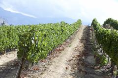 View Of South African Vineyard Stock Photos